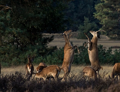 Deers fighting @ sunset Hoge Veluwe National Park, Netherlands. (Richard Verroen) Tags: sunset nationalpark zonsondergang deer fighting mammals deers veluwe hert vechten hogeveluwe nationaalpark edelhert zoogdieren edelherten