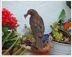 Amselmutter Waltraud - blackbird mother Waltraud