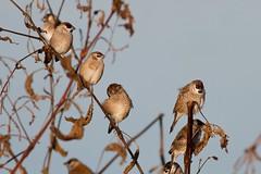 Plum-headed Finches (petefeats) Tags: nature birds australia queensland inglewood australianbirds passeriformes estrildidae plumheadedfinch neochmiamodesta coolmundadam