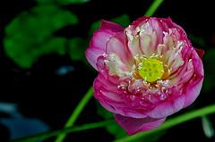 Peony lotus  ... ( Frog) Tags: flower nature flora nikon lotus malaysia 2010 d90 putrajayaflorafest2010 2010