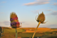 Heads over the hills (philb1959) Tags: uk light summer england sky cloud flower colour nature clouds weeds weed nikon day dof wildlife yorkshire sunny northeast d3000 afsnikkor1855mmf3556