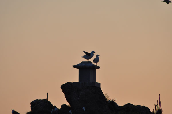 The silhouette of the black-tailed gull