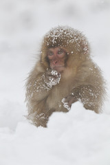 The baby in the snow monkey's kingdom (Masashi Mochida) Tags: baby snow japan monkey nagano jigokudani naturesfinest coth supershot impressedbeauty alittlebeauty