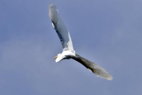 egret flying pocasset II
