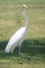 young Great Egret in Glendover Park