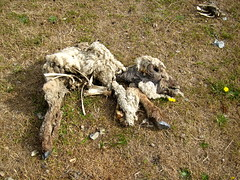 Dead Little Lamb (Adam Kuban) Tags: france death honeymoon sheep hiking lambs normandy carcasses saltmeadows hikeday3 sentiersdefrance
