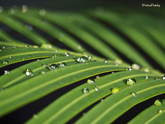 Raindrops on fronds_edited-1 (SLR_guy) Tags: macro green dew waterdroplets fronds zd olympuse30 slrguy