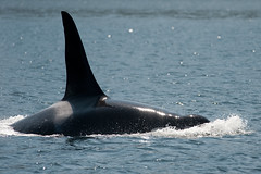 Killer Whale (Orcinus orca) (Marek Stefunko) Tags: columbia killer whale british orca