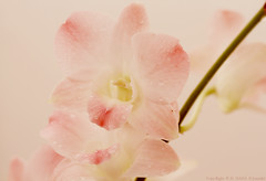 ..     (Al HaNa Al Junaidel  =)) Tags: flower hana alhana canon450d   aljunaidel cameracanoneos450dexposure18aperture03exposureprogrammanualisospeed100focallength35mmflashoff didnotfirelenscanonmacrolensef100mm128usm