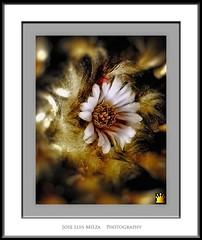 Floral Hell (Jose Luis Mieza Photography) Tags: flowers flores flower fleur fleurs flor saludos lindalinda benquerencia florews reinante jlmieza reinanteelpintordefuego joseluismieza