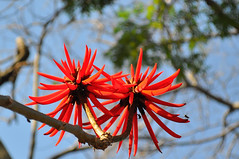 Flor-de-coral II (Bruno Galoppini Felix) Tags: nikon londrina uel abelhas flordecoral d5000