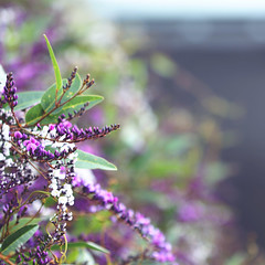 ...satisfied with all this luscious chaos... (jewelflyt) Tags: flowers white green square purple bokeh quote vine cropped buds processed storypeople hardenbergia hpps perfectpurplesaturday