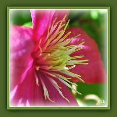 Tentacles (Jenn's View) Tags: flower macro garden nikon d70s clematis stamen hamiltonontario