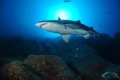 SWRAUG2010 225 (Custom) (AussieByron) Tags: fish rock southwestrocks swr gns greynurseshark tokina1017mm nikond90 aquaticahousing wwwsouthwestrocksdivecentrecomau