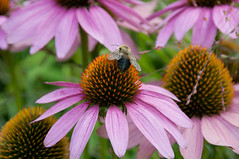 A Humming Sound (L_) Tags: toronto waterfront echinacea bee harbourfront musicgarden