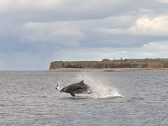 salmon catching_edited-1 (Lolls Marshall) Tags: scotland rosemarkie blackisle morayfirth bottlenosedolphins chanonrypoint rosemarkiebay