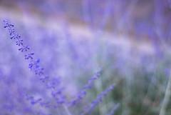 Nevada Summer (kellycurtin) Tags: flowers summer 50mm focus purple time nevada etsy