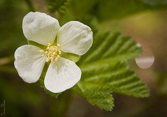 20100608_9999_27b (Fantasyfan.) Tags: summer white flower macro green topv111 closeup tag3 taggedout tag2 tag1 bokeh oulu fantasyfanin oulunlni kuivasranta