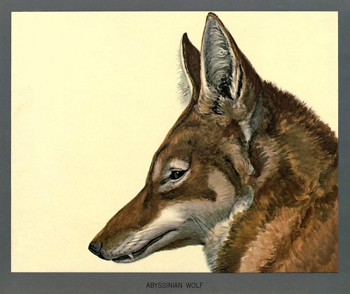 008-Lobo de Abisinia-Album of Abyssinian birds and mammals 1930- Louis Agassiz Fuertes