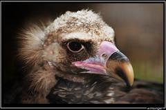 Monnikkapsgier (wimsingel) Tags: planckendael dierenpark gier