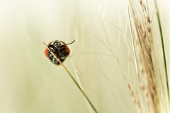 coccinellidae | Bye bye Lady (cliccath) Tags: macro ciao ladybird ladybug byebye coccinelle macrophotography aurevoir coleoptera coccinellidae coccinellaseptempunctata macrophotographie canonef100mmf28macrousmlens cliccath ~explore~ cathschneider coléoptère