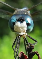 Mr. Blue Dasher (Vicki's Nature) Tags: blue mountains macro male canon georgia eyes ode dragonfly turquoise s5 bigmomma bluedasher 15challengeswinner natureoutpost vickisnature beautifulworldchallenges thumbsupwinner 100commentgroup thumbsupunanimouswinner thumbwrestlingwinner readygame bwcgcloseups motherbigmommaaward mothermacroinnature 15challengesupcloseandpersonal mothermacroinnaturenobutterflies thumbsupwrestlingmatchwinner readyfaves thumbsupmacro thumbsuptwothumbsupwinner wrestlingmatchwinner