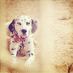 My neighbours dog (Isabel Alcal) Tags: dog eyes dalmatian dlmata graciasaskeletalmessporsupreciosatextura minuevo85f18recomendadoporeva tieneunojodecadacolor