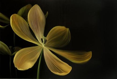Tulipa_gesneriana