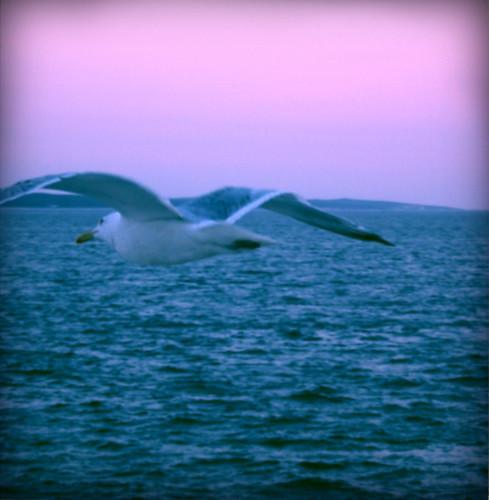 seagull + ocean