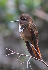 White-tufted Sunbeam (Aglaeactis castelnaudii) (macronyx) Tags: bird peru nature birds hummingbird wildlife birding aves sunbeam oiseaux fglar kolibri aglaeactis whitetuftedsunbeam aglaeactiscastelnaudii