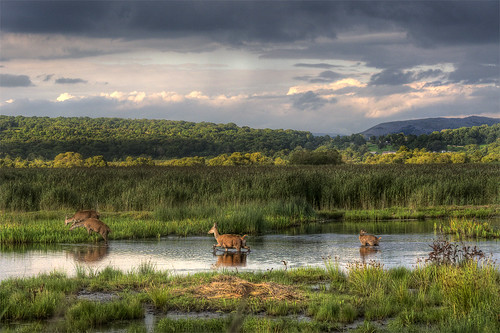 Red deer at Leighton Moss