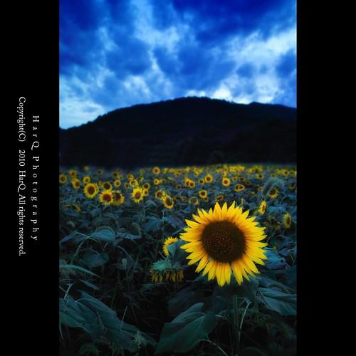Twilight Sunflower *