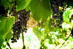 Moldova's Grapes