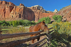 Red (dbushue) Tags: portrait horse mountains west flower yellow fence landscape utah god earth indian blessing 2009 corral capitolreefnationalpark fruita blueribbonwinner coth supershot explored itsawonderfulworld mywinners citrit theunforgettablepictures absolutelystunningscapes damniwishidtakenthat dragondaggerphoto yourwonderland mygearandmepremium