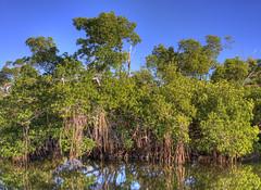 Red Mangroves (GMills31) Tags: blue trees green reflections florida swamp sanibel hdr cs4 photomatixpro redmangrove mywinners topazlabs dingdarlingnwr