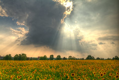 One of those moments... you go... wow. (Kc Jacoby Photography LLC) Tags: sun sunlight clouds landscape pentax michigan annarbor explore sunflowers frontpage dominofarms k7 sunstreaks sunflowerfields kcjacoby pentaxk7