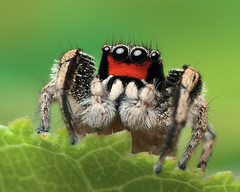 Habronattus coecatus (Jeremy Royall) Tags: macro spider jumping 7d jumper jumpingspider 65 macrophotography mpe mpe65 salticidae palpi habronattus chelicera coecatus habronattuscoecatus