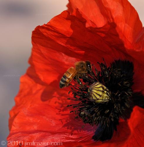 Bee in a Poppy