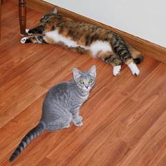 Millie & Gracie 14 August 2010 0011b sq (edgarandron - busy!) Tags: cats cute cat kitten gracie feline tabby kitty kittens kitties tabbies millie patchedtabby dilutetabby