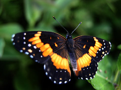 Wingspan (Jason A. Samfield) Tags: orange greenleaves white black color macro green nature colors beautiful leaves yellow butterfly bug insect leaf wings eyes colorful dof bokeh vibrant wing butterflies insects bugs depthoffield spots hues monarch greens spotted oranges yellows delicate leaflet supermacro fragile hue wingspan depth antenna antennae metamorphosis monarchs antennas greenish yelloworange orangeyellow fieldofdepth monarchbutterfly leaflets yellowish orangeish orangish monarchbutterflies whitespots wingspans