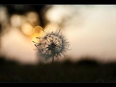 Dandelion... Explore #21 August 19, 2010 (Pablin79) Tags: sunset sun plant nature digital canon eos reflex dof bokeh dandelion explore ef28135mm canonef28135mmf3556isusm canoneos5dmarkii 5dmkii pabloreinschphotography
