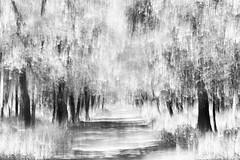 summer (nicola tramarin) Tags: longexposure summer bw alberi italia estate verano icm biancoenero emiliaromagna bosco mosso lungaesposizione intentionalcameramovement bosconedellamesola nicolatramarin