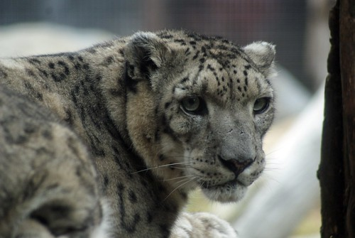 Snow Leopard: San Francisco Zoo