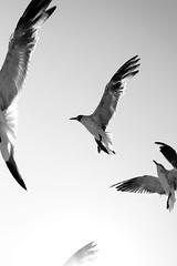 Spread Your Wings And Soar (minnieminnmin) Tags: nyc newyorkcity summer sky bw seagulls white ny newyork black bird beach birds contrast grey flying blackwhite wings bright gray queens glide minnieminnmin rockawaybeach