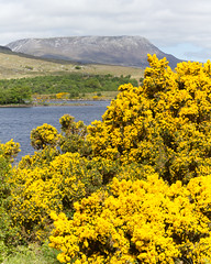 Gorse, Lough Veagh, and Muckish Mountain Photo