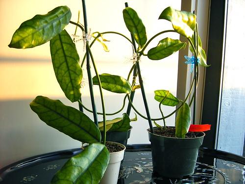 Hoya globulosa
