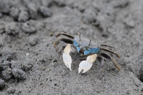 Chigo-crab