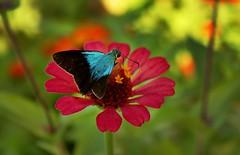 tizimin flor_1200 ch (Emilio Segura Lpez) Tags: mexico rojo flor yucatan mariposa tizimin
