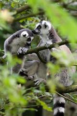 Ring-tailed Lemurs (Sera.D.) Tags: trees white black tree grey monkey climb branches lemur monkeys lemurs ringtailedlemur ringtailed ringtailedlemurs