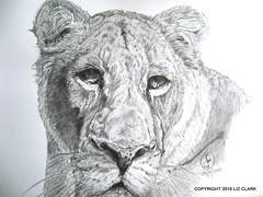 Shikira 2 - Final (madbushfarm) Tags: art animal pencil drawing wildlife lion bigcat lioness barbarylion